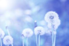 Dandelions na tle zabarwiającym w błękicie Romantyczna sztuka nadająca się dla pocztówek Obrazy Royalty Free