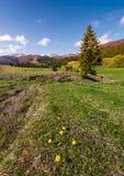 Dandelions na trawiastych skłonach w wiośnie Obrazy Royalty Free