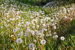 Dandelions in the nature Royalty Free Stock Photography