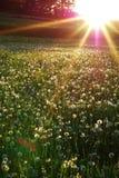 dandelions nieżywi Zdjęcie Stock