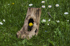 Dandelions. Old tree in the meadow from which to grow dandelions Royalty Free Stock Image