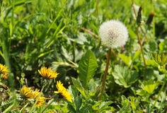 Dandelions. One dandelion with fluff and some other ones still blooming Stock Image