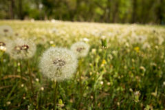Dandelions at the park royalty free stock images