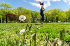 Dandelions with plenty of seeds, standing in a meadow of lush green grass, on a beautiful and sunny spring day, with royalty free stock photography