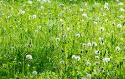 dandelions pola pełni światła Zdjęcia Stock