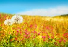 dandelions pole Fotografia Stock