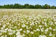 dandelions pole Fotografia Royalty Free