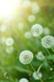 dandelions promieni słońce Obrazy Stock
