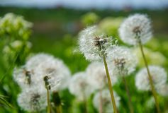 Dandelions przeciw tłu pole zielony Grasse Fotografia Stock