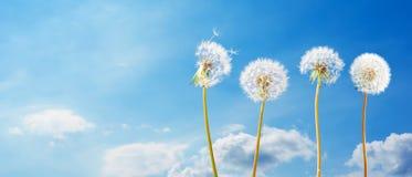 Dandelions przed niebieskim niebem z chmurami obraz stock
