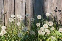Dandelions przy ogrodzeniem Zdjęcia Royalty Free