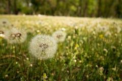 Dandelions przy parkiem Obrazy Royalty Free