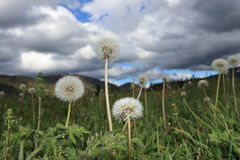 Dandelions in Pyrenean meadow  in spring, Aude in France Stock Images