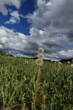 Dandelions in Pyrenean meadow  in spring, Aude in France Royalty Free Stock Photo