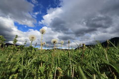 Dandelions in Pyrenean meadow  in spring, Aude in France Royalty Free Stock Photos