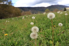 Dandelions in Pyrenean meadow  in spring, Aude in France Stock Image