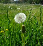 Dandelions r w zielonej trawie shinny obrazy royalty free