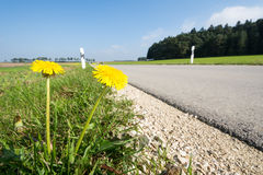 Dandelions at the Roadside Royalty Free Stock Photos
