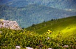 Dandelions among the rocks on hillside. Dandelions among the rocks in Carpathian Alps. Vivid summer landscape at sunset Stock Images