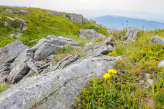 Dandelions among the rocks on hillside. Yellow dandelions in the grass among the huge rocks on hillside in high mountains Stock Images