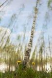 Dandelions in scandinavian birch tree forest Stock Photos
