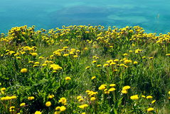 Dandelions on the seashore. A field of dandelions overlooking the shore of the sea royalty free stock image