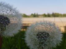 Dandelions see through Royalty Free Stock Photos