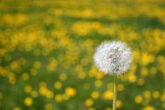 Dandelions seedhead. Against field of blooming dandelions Stock Image