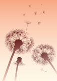 Dandelions in sepia with flying seeds Stock Photo