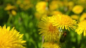 Dandelions, shooting slider, macro stock video