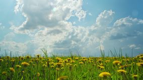 Dandelions, shooting time-lapse slider stock video footage