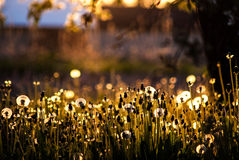 Dandelions. Shot of dandelions in orchard during the sunset royalty free stock photography