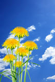 Dandelions On Sky Royalty Free Stock Images