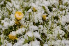Dandelions in snow Stock Photo