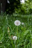 Dandelions snuggled in the grass Tarataxum officinale . Close up view. Selective focus stock images