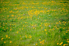 Dandelions in spring Stock Photos