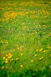 Dandelions in spring Royalty Free Stock Photo