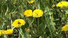 Dandelions in a Spring stock video