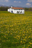 Dandelions spring farm Royalty Free Stock Images