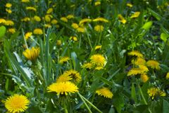 Dandelions on the field royalty free stock images