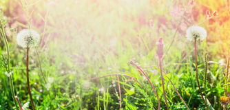 Dandelions on spring field in the sun, summer blurred background banner for website selected focus, blur, summer, spring, sun Royalty Free Stock Images