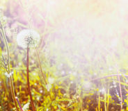 Dandelions on spring field in the sunlight, blurred spring background selected focus, blur, summer, spring, sun stock images