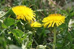 Dandelions Royalty Free Stock Images