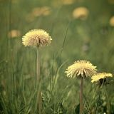 Dandelions in Spring. Dandelions growing in a Spring meadow or field in the Cotswolds countryside, Gloucestershire England. Square format with blurred background Stock Images