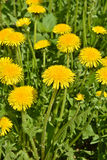 Dandelions in the spring meadow. Royalty Free Stock Images