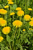 Dandelions in the spring meadow. Stock Photo