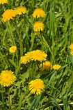 Dandelions in the spring meadow. Royalty Free Stock Photos