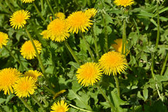 Dandelions in the spring meadow. Stock Images