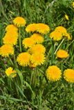Dandelions in the spring meadow. Royalty Free Stock Photo
