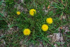 Dandelions in spring on a sunny day. Flowering dandelions close-up royalty free stock photo